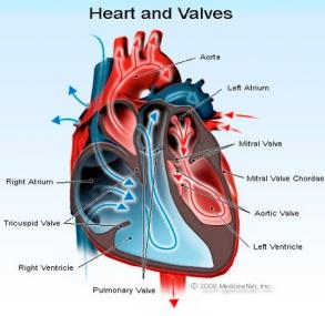 heart_valves